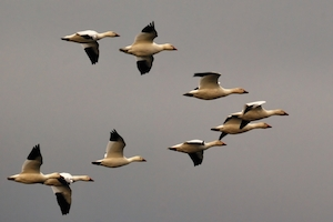 snow_geese_formation_in_new_jersey_-_by_hjhipster_cc-license300x200